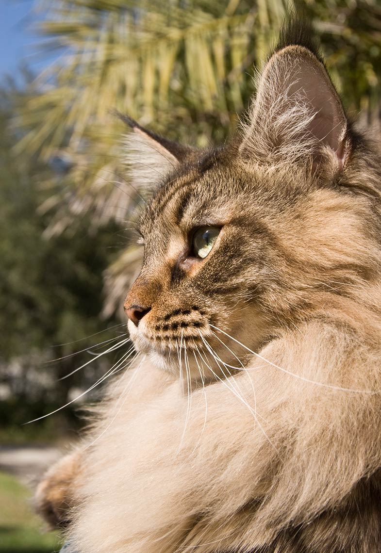 10-Maine_Coon
