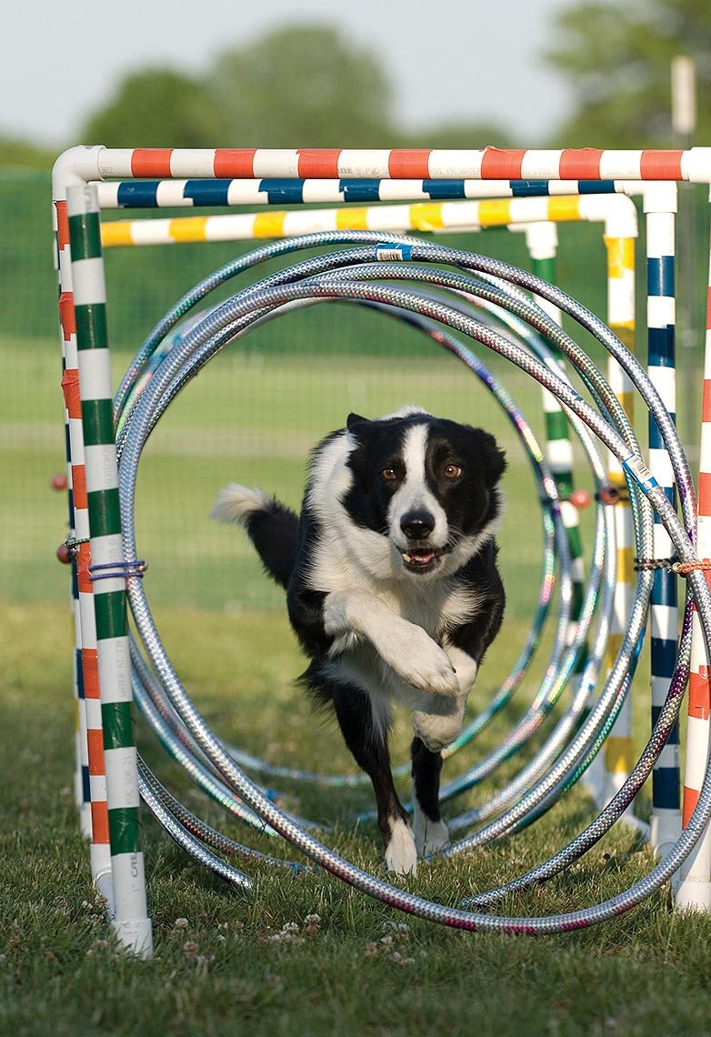 8-Border_Collies
